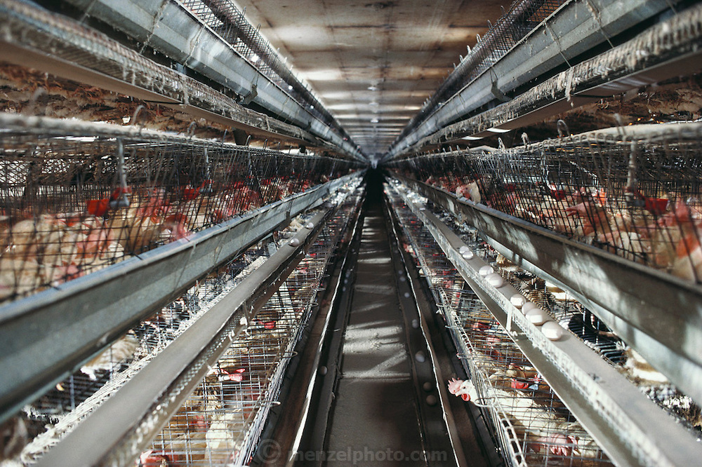 USA_AG_CHIC_01_xs.Belden Egg Ranch. Central Valley, California. 500-foot row of laying hens. (Multiple flash photo) USA.