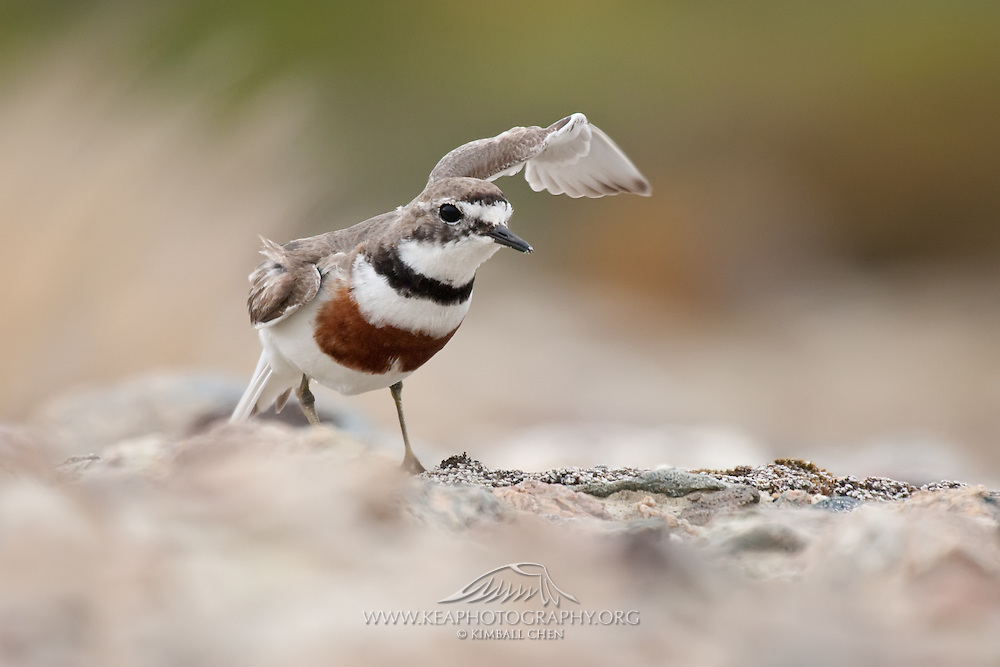 Banded Dotterel and its broken wing display, Stewart Island, New Zealand