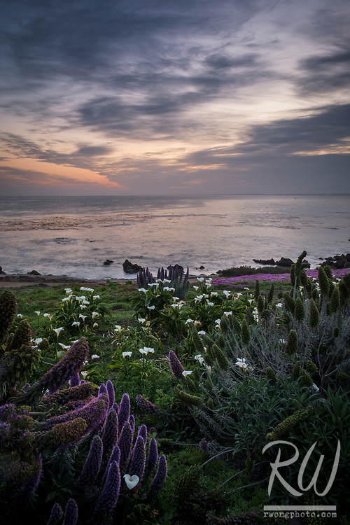 Spring Flowers at Sunrise, Pacific Grove, California