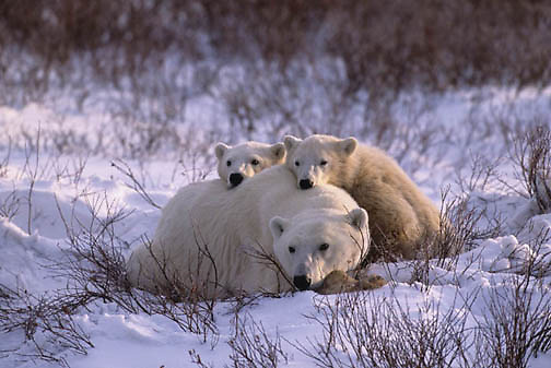 Polar Bear, (Ursus maritimus)  Mother and cub resting in willows. Cape Churchill, Manitoba. Canada.