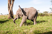 African bush elephant (Loxodonta africana). Photographed in Tanzania