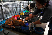 A sick dog is fed in the hospital section of the Government run dog shelter at Nakhom Phanom. Every year an estimated 200,000 dogs are illegally smuggled across the River Mekong, from Thailand in to Laos, where they are driven by truck to Vietnam. Stuffed in to tiny crude metal cages they are then taken up to the slaughter houses and dog meat restaurants of Hanoi, Vietnam's capital. A dog bought in Thailand for as little as US$7 can then be sold for up to US$100 in Vietnam making it a very profitable trade for the mafia gangs that control it. NGO's and officials in Thailand Northeast are fighting hard to stop the trade and in 2013 alone have saved thousands of dogs from being smuggled across the border to Laos.