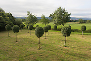 Young common hornbeams growing in a Herefordshire meadow. Freshly-trimmed and shaped, the young saplings are spaced around this garden field. Like alders and hazels, hornbeams are part of the birch family, all of which produce male and female flowers in the form of catkins. In hornbeams, the catkins are normally hidden until spring. There are around 70 species of hornbeams found worldwide, mainly in East Asia, but the one most often found in the British Isles is the common hornbeam.