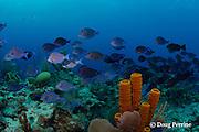 school of blue tang surgeonfish or blue doctorfish, Acanthurus coeruleus, ( herbivorous ), Lighthouse Reef Atoll, Belize, Central America, ( Caribbean Sea )