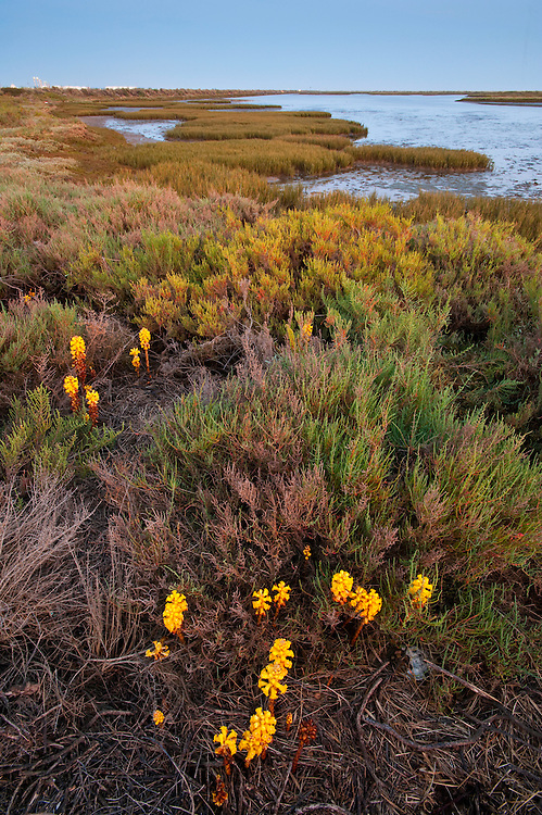 Broomrape, Cistanche phelypaea killing its host Salicornia, Huelva, Spain