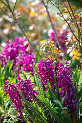 Hyacinthus orientalis 'Woodstock' - hyacinth - with rose foliage
