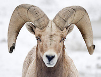 A Bighorn Sheep ram (Ovis canadensis) aproaches curiously while wintering on the slopes of Umtanum Ridge -  Cascade Mountains, WA