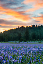 """Sagehen Meadows Sunrise 2"" - These Camas wildflowers were photographed at sunrise in Sagehen Meadows, near Truckee, California."