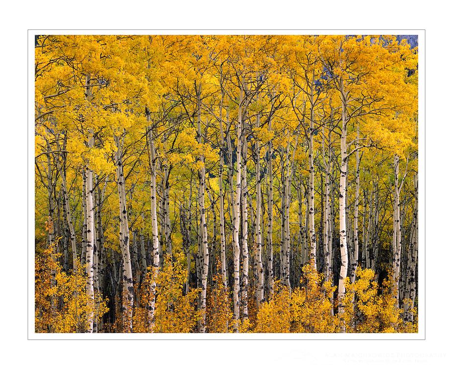 Aspen grove in autumn Kananaskis Country Alberta Canada