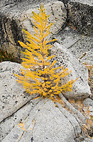 A small Larch tree and granite rocks, Enchantment Lakes Wilderness Area, Washington Cascades, USA.