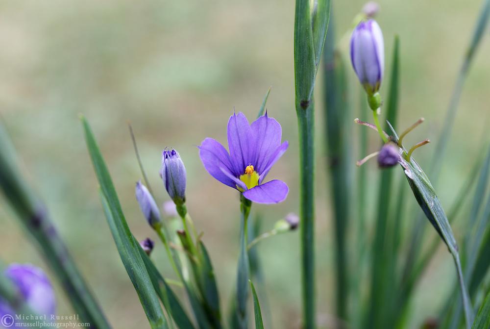 Sisyrinchium angustifolium 'Lucerne' spring flowers in a backyard garden. Also known as Narrow Leaved Blue Eyed Grass.