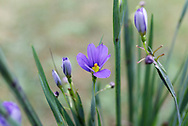 Sisyrinchium angustifolium 'Lucerne' spring flowers in a backyard garden. Also known as Narrow Leaved Blue Eyed Grass.
