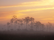 Early morning mist and slash pines at sunrise in the Everglades