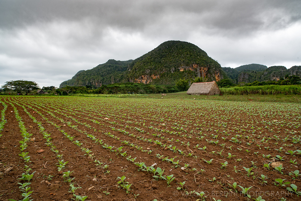 Tobacco plants growing in a field in the Vinales valley in West Cuba. Within the Vinales National park the use of chemicals and powered engines is forbidden, the whole tobacco production is organic and handmade. Growers use horses and oxen to help in the field.
