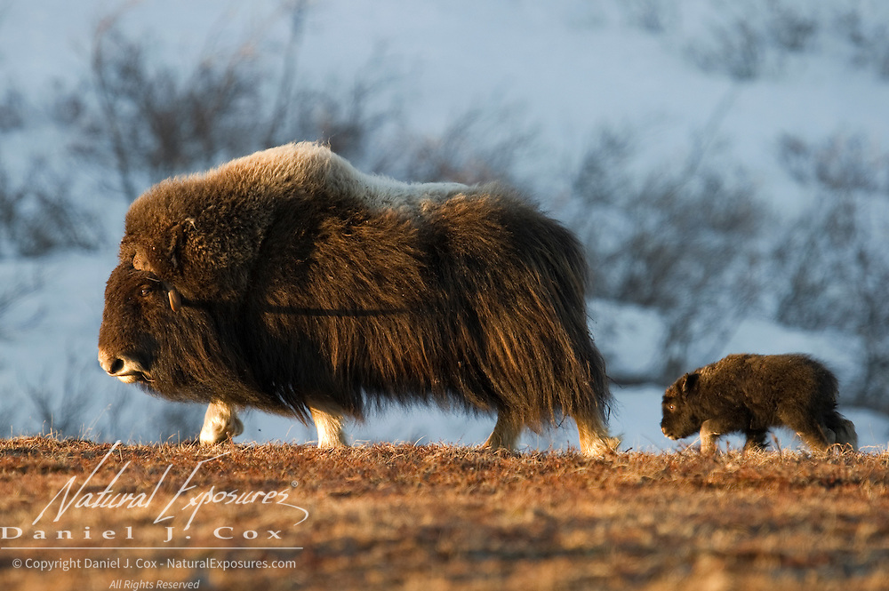 Muskox mother and her newborn calf. Alaska
