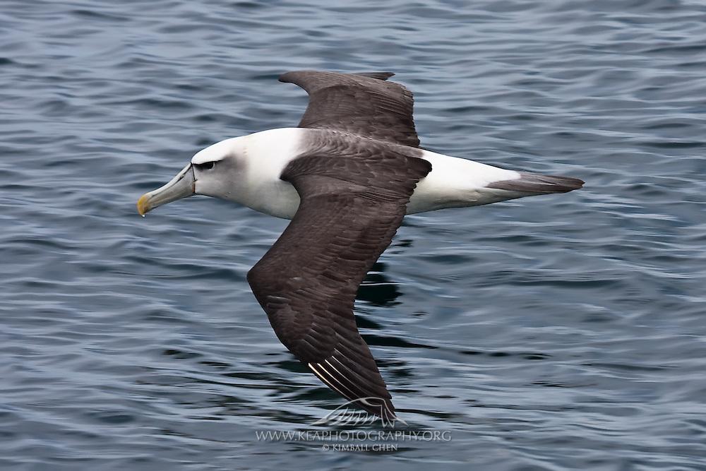 Shy Albatross, Otago Peninsula, New Zealand