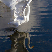 The great egret, ardea alba, also known as common egret, large egret or great white heron, is a large, widely distributed egret. <br />