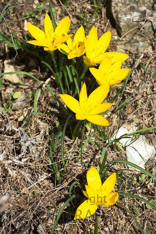 Yellow perennial flowering wildflower in Corfu, Greece