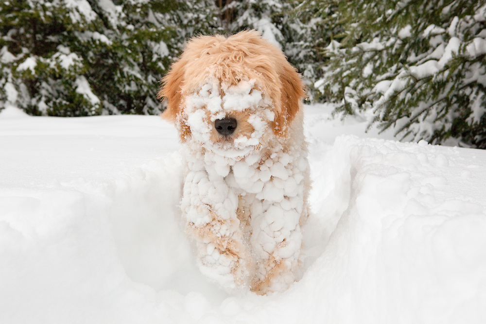 Doodle puppy covered in snow