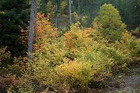 Greece, Pindos Mountains, Pindos NP, Valia Calda, Mixed Forest in Valia Calda
