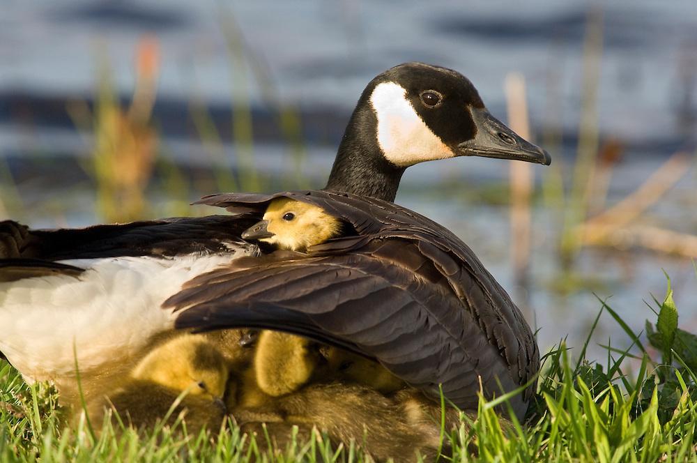 Canada Geese, Branta canadensis, female brooding goslings, Ottawa County, Ohio