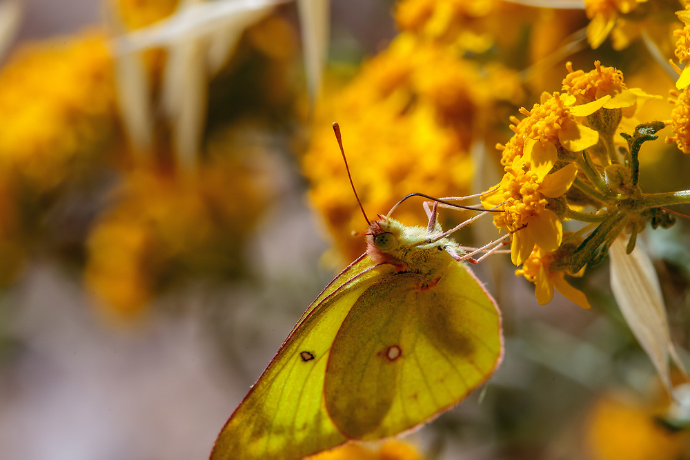 Colias harfordii (Harford's Sulphur) ♀ at Grizzly Flat, Angeles NF, Los Angeles Co, CA, USA, on Golden yarrow 04-Jun-11