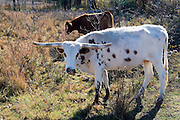 Oklahoma OK USA, Oklahoma countryside along highway US scenic 412. Texas long horn bull
