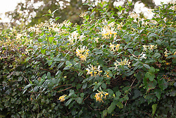 Honeysuckle grown over hedge - Lonicera