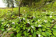 Trillium in bloom, Cave Point County Park, Door County, Wisconsin.