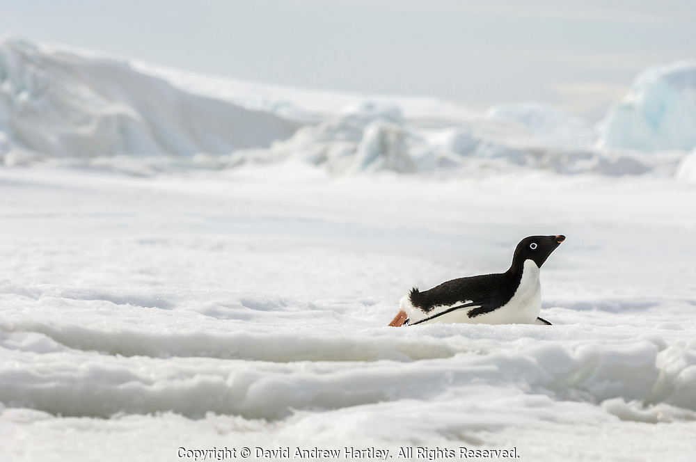 An Adelie penguin (Pygoscelis adeliae) toboggans on icy snow back to its rookery, near Cockburn Island, Admiralty Sound, Antarctica