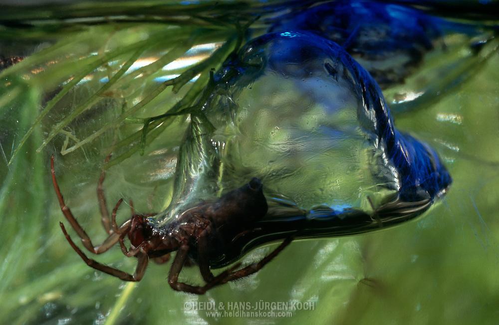 Diving bell spider under water half in its air bubble Habitat deutschland