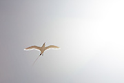 Red-tailed Tropic bird backlit
