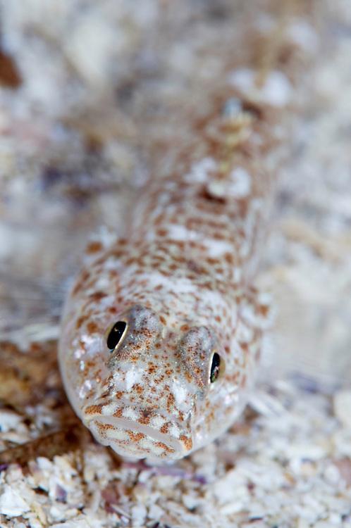 Sand goby, Pomatoschistus minutus<br /> Moere coastline, Norway