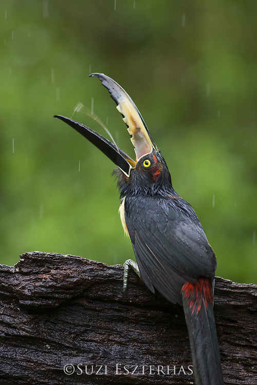Collared Aracari <br /> Pteroglossus torquatus<br /> Northern Costa Rica, Central America
