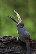 Collared Aracari <br /> Pteroglossus torquatus<br /> Northern Costa Rica, Central America