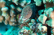 Whitemouth Moray, Gymnothorax meleagris, (Shaw & Nodder, 1795), Maui Hawaii