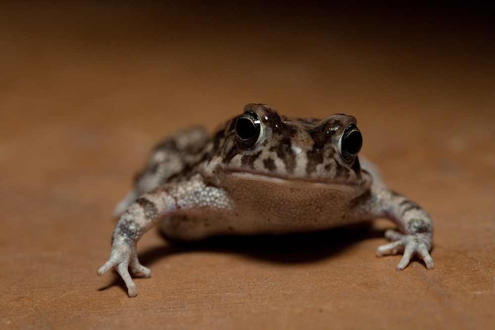 toad in Ruaha National Park