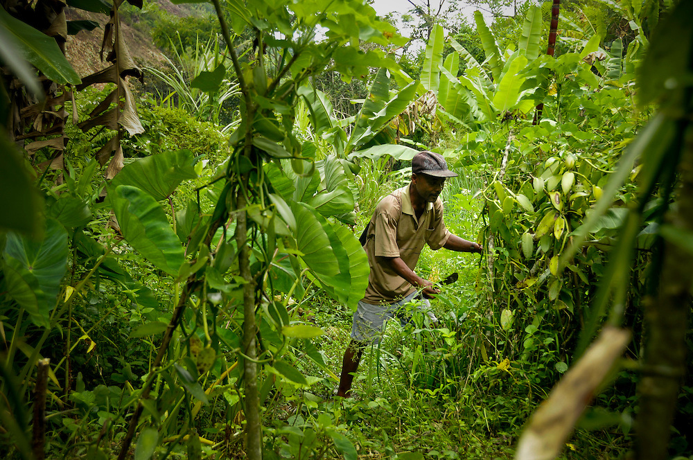 Vanilla farming in Madagascar..Photographer: Chris Maluszynski /MOMENT