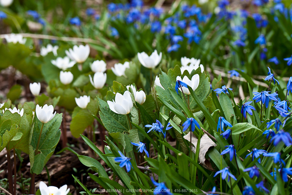 Bloodroot (Sanguinaria canadensis)  and Siberian Squill (Scilla)
