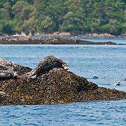 Harbor Seal (Phoca vitulina), in the San Juan Islands, Washington, USA. Photo by William Drumm.