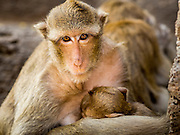 30 NOVEMBER 2014 - LOPBURI, LOPBURI, THAILAND: A female Long Tailed Macaque monkeys nurses one of her offspring in Lopburi. Lopburi is the capital of Lopburi province and is about 180 kilometers from Bangkok. Lopburi is home to thousands of Long Tailed Macaque monkeys. A regular sized adult is 38 to 55cm long and its tail is typically 40 to 65cm. Male macaques weigh around 5 to 9 kilos, females weigh approximately 3 to 6 kg. The Monkey Buffet was started in the 1980s by a local business man who owned a hotel and wanted to attract visitors to the provincial town. The annual event draws thousands of tourists to the town.    PHOTO BY JACK KURTZ