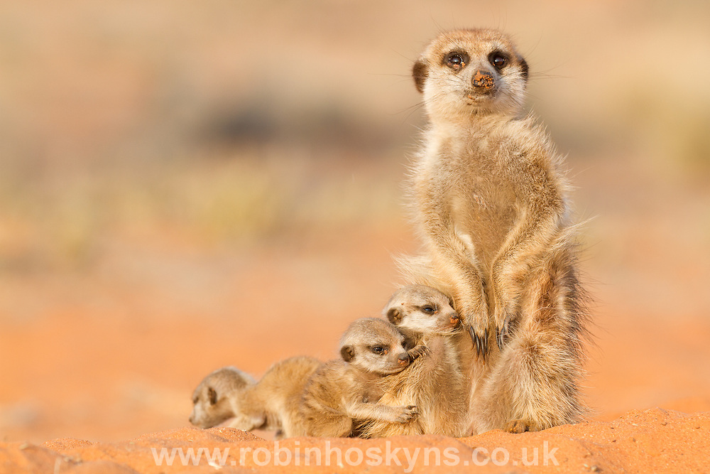 Meerkat pups with a babysitter.