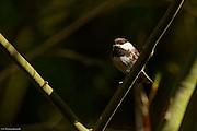 Chestnut-backed Chickadee surveys the forest.