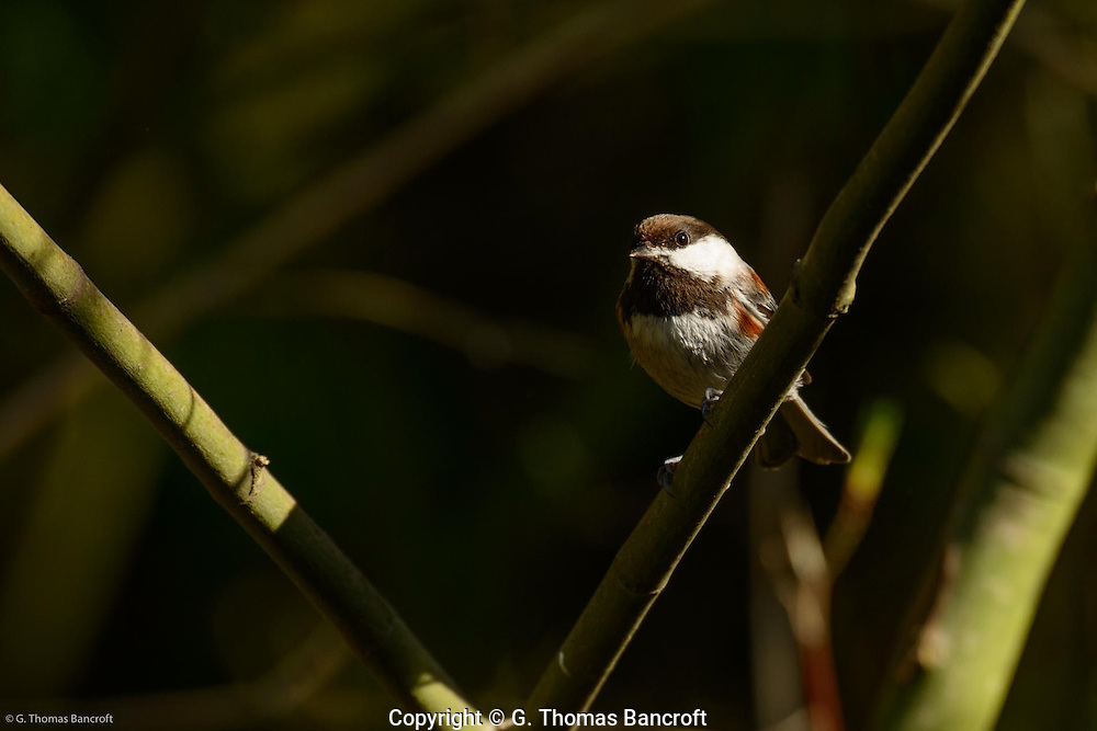 Chestnut-backed Chickadee surveys the forest.