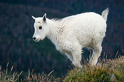 A mountain goat kid (Oreamnos americanus), also known as the Rocky Mountain goat frolics on the slope of Byers Peak. Mountain goats are protected from harsh winter elements with their wooly double coats. Their undercoats of fine, dense wool is covered any an outer layer of longer, hollow hairs. In the spring, mountain goats molt rubbing their hair against bushes, trees and rocks to shed the thick wool during the warmer months. Mountain goats are herbivores spending most of their time grazing on grasses, plants and shrubs of their alpine habitat