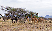 Reticulated giraffs (Giraffa camelopardalis  reticulata) feeding on flat-top acasia in Samburu National Reserve, Kenya