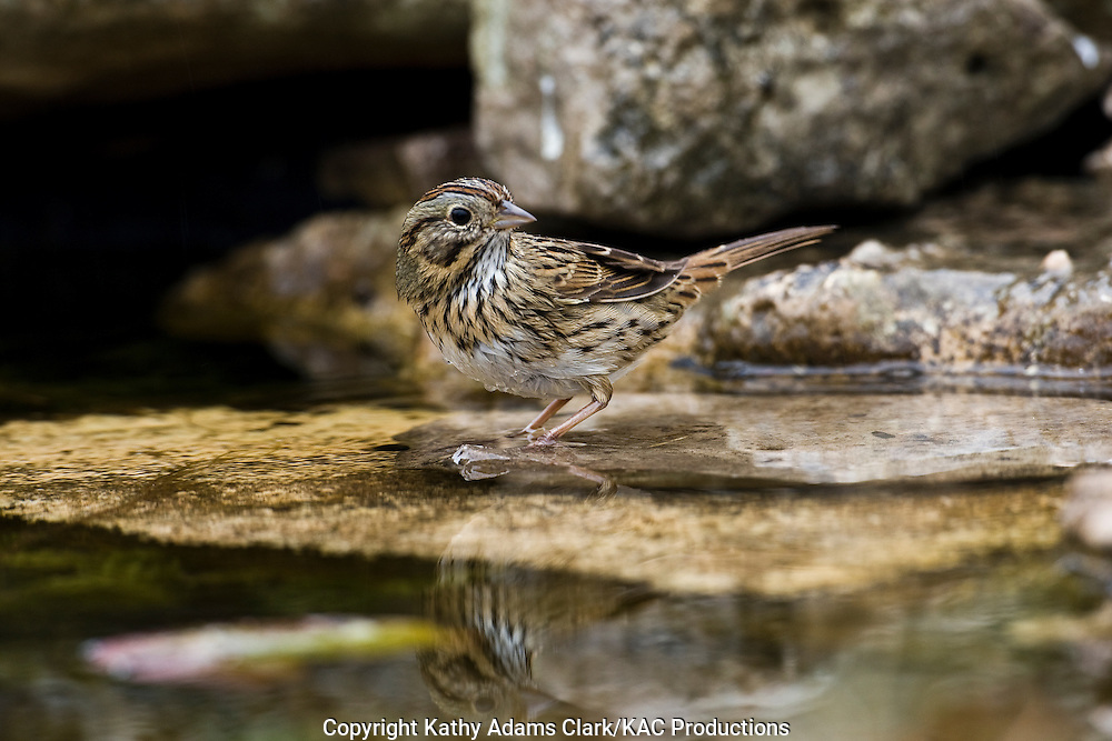 Lincoln's sparrow, at water, Fredericksburg, Texas, Winter, Hill country.