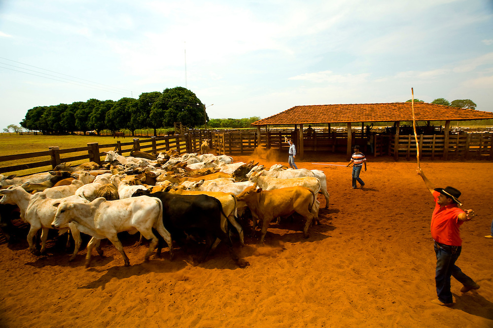 Sao Jose do Rio Preto_SP, Brasil...Programa Biota da Unesp, na foto criacao de gado...The Biota program of Unesp, in this photo the cattle ranching.. .Foto: JOAO MARCOS ROSA / NITRO
