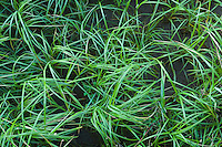 Closeup of grasses growing along Columbia River Washington USA.