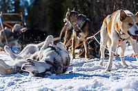 Sweden, Åre. Sled dog racing near Ottsjö.